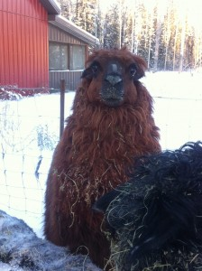 Alpaca guy